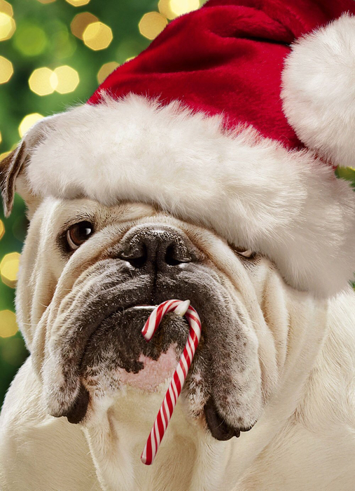 Bulldog in Santa hat with candy cane