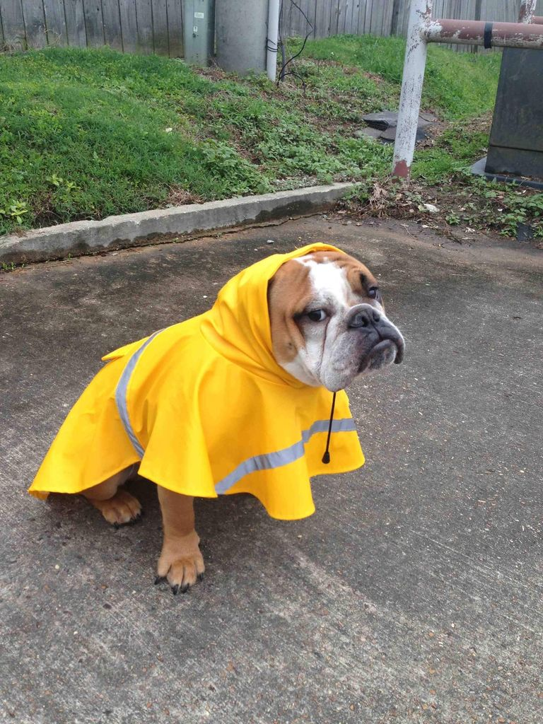 Bulldog in the rain.